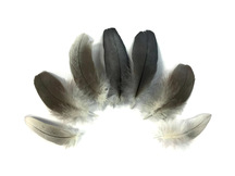 Natural Black and Gray African Grey Parrot Body Plumage Feathers