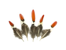 5 Pieces - Mini Natural Orange Tips Lady Amherst Pheasant Feather