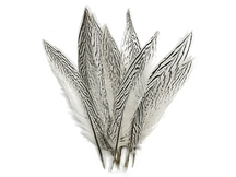 "50 Pieces - 10-12"" Natural Silver Tail Pheasant Wholesale Feathers (bulk)"
