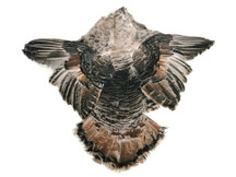 1 Piece - Hybrid Royal Palm Wild Turkey Tom Complete Pelt with Wings and Tail Feathers (Bulk)