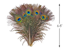 "10 Pieces - 6-8"" Small Eye Natural Iridescent Green Peacock Tail Feathers"