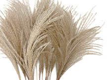 "10 Pieces - 14-16"" Natural Ivory Preserved Dried Horsetail Whisk Plume Reed Grass"
