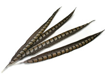 "10 Pieces - 16-18"" Natural Long Lady Amherst Pheasant Tail Feathers"