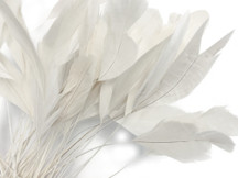 1 Dozen - White Stripped Rooster Coque Tail Feathers