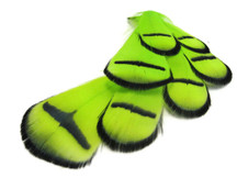 1 Dozen - Lime Green Lady Amherst Pheasant Tippet Feathers