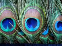 1 Yard - Peacock Eye Fringe / Trim Feathers