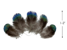 5 Pieces - Ombre Blue Green Peacock Plumage Loose Feather - Rare -