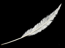 5 Pieces - White Long Ostrich Nandu Trimmed Feathers