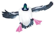 Bufflehead Drake #2 PVC Garage Duck