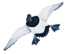 NEW! Canvasback Drake #6 Hand Painted Original