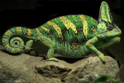 Debbie Millington Gold Print Chameleon Scarf