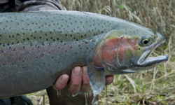 applegate-buck-steelhead.jpg