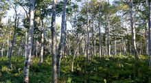Birch Forest in the White Mountains