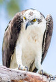 Osprey Stare Down Photo Print