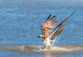 Surfacing Osprey Photo Print