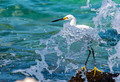 Snowy Egret Photo Print