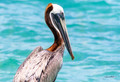 Brown Pelican at Fort Jefferson Photo Print