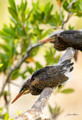 Young Green Herons Photo Print