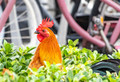 Rooster in the Bush Photo Print