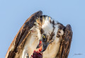 Osprey's Lunch Photo Print