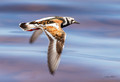 Ruddy Turnstone in Flight Photo Print