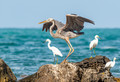 Great Blue Heron & Snowy Egrets Photo Print
