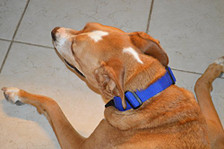 80 lb lab mix, notice how WIDE this collar is. It is made specifically for very BIG DOGS!