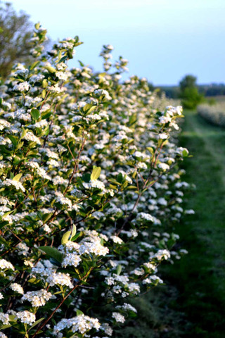 Aronia bushes in flower
