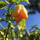 California Reaper Pepper | Tyler Farms