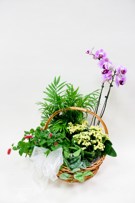This wicker basket incorporates a bountiful  combination of blooming and green plants as a living tribute. This basket includes a Tropical feel by adding an orchid plant and lush trailing green plants. A lasting gift, and remembrance for the family.