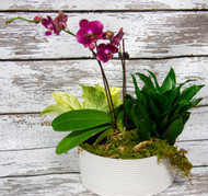 Send these fun orchid plants in a contemporary ceramic pot to someone special. These eye-catching and unique colored orchids are sure to be a great conversation starter, that will keep them talking for weeks!   Care:  Med to bright light. Between watering make sure the orchids get very dry. We suggest soaking your orchid every 2-3 weeks for 20 min, spray leaves and stems. Drain the orchid well and leave to dry before returning to pots. They thrive on being neglected. As blossoms fade, remove to encourage new growth.