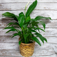 When it comes to watering, consistency is key. Keep the soil moist, but do not overwater. Peace lilies can tolerate short periods of dry soil, but their leaves will start to brown if neglected for too long. Peace lilies enjoy high humidity. Misting their leaves or placing their pot atop a moistened tray of gravel can help to increase humidity around the plant. Keep these plants out of direct afternoon sunlight, but in a bright, well-lit area. An east-facing window is ideal, as they will be exposed to the bright morning sun but avoid the intensity of mid-day rays.