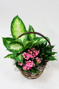 A rustic wicker basket filled with an assortment of green plants and a blooming plant to add color. Each plant is left in their own pot to encourage success with their growth, or easy to separate and share.