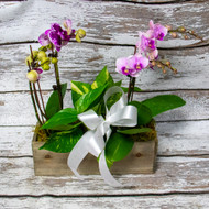 Kind Hearted Boxed Orchids