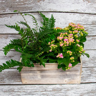 Kalanchoes and Ferns in Rustic Box