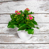 Blooming Kalanchoe in Simplistic Pot