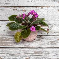 Blooming Violets in Ceramic Pot