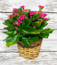 Kalanchoe In Basket