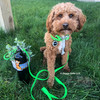 Kona wearing Coastal Pet Pro Waterproof dog collar leash and harness set in lime
