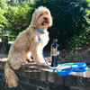 millerthelabradoodle wearing coastal pet pro waterproof leash and collar