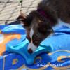 Nova and her Pro Fit Flying Jack Dog Toy 84805BLLDOG