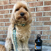 millerthelabradoodle wearing Coastal Pet ribbon weave collar and leash set