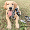 good.boy.nash looks handsome in his coastal pet inspire leash and harness set