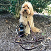 Miller wearing Circle T Latigo Leather Brass Hardware leash and collar