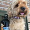 millerthelabradoodle says happy halloween with his Coastal Pet Celebrations Halloween Dog Collar