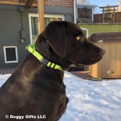 Finn wearing his Coastal Pet Martingale Buckle Adjustable Nylon Dog Collar Personalized (66407E) Lime