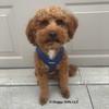 Kona looks adorable in his Coastal Pet Personalized Comfort Sport Wrap Harness