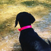 Sadie looks great in her Pro Waterproof Personalized Dog Collar