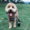 Sammy wearing Coastal Pet K9 Explorer Dog Harness