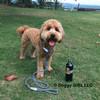 Sammy wears Coastal Pet K9 Explorer Slip Rope Leash